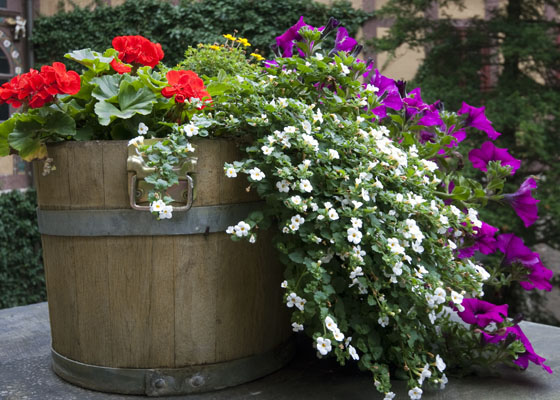 SS-geraniums-petunias-garden-barrel560x400