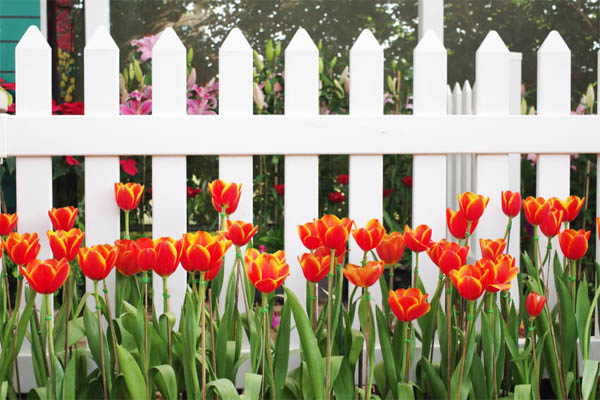 A White Aluminum Picket Fence With Yellow Tipped Orange Tulips In Front.  Garden Fence39