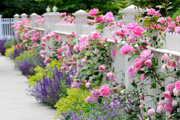 iStock-9999863_combining-plants-roses-salvia-catmint-ladys-mantle-fence_s4x3.jpg.rend.hgtvcom.966.725