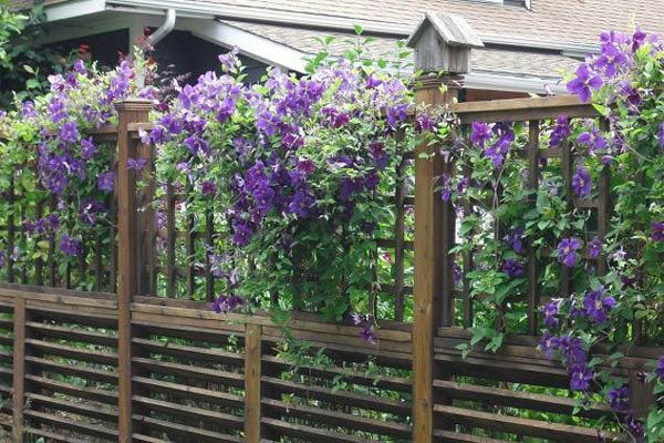 these-breathtaking-pictures-of-clematis-are-all-you-need-to-see-today-fences-flowers-gardening