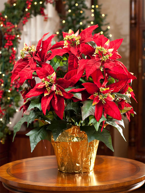 10 wonderful and popular christmas plants for more