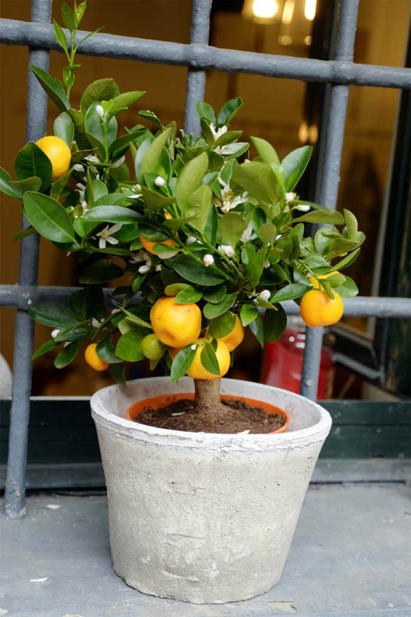 absolutely stunning fruit trees that grow great in containers