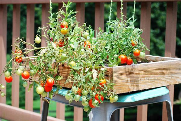 cherry-tom-in-salad-box-smetana