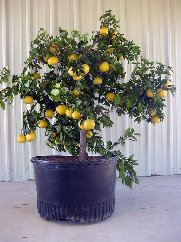 Absolutely stunning fruit trees that grow great in for Growing a lemon tree in a pot from seed