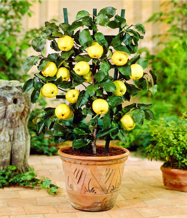 Best Fruits To Grow In Pots: Absolutely Stunning Fruit Trees That Grow Great In