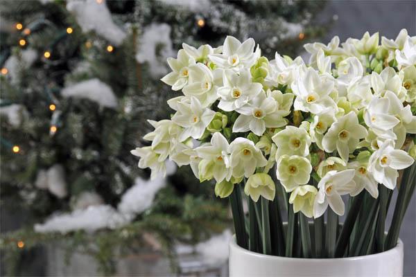 narcissus-paperwhite-ziva-ibulb_34450