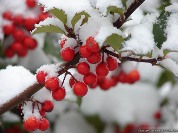 snowy-christmas-berries-wallpapers-1024x768