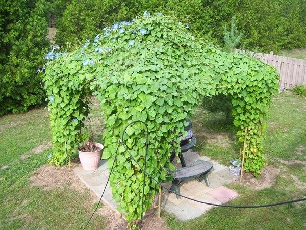 15 beautiful climbing plants for pergola and arbors that for Fast growing climbing plants for screening